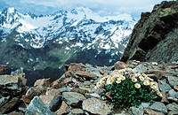 glacier crowfoot Ranunculus glacialis, with glacier covered mountains in the background, Italy
