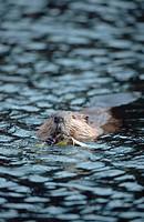 Eurasian beaver, European beaver Castor fiber, Sep 98.
