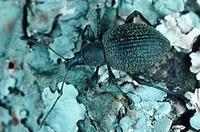 snout beetle, weevil Otiorhynchus salicicula.