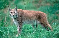 lynx Lynx lynx, Mai 96.