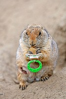 Black-tailed Prairie Dog (Cynomys ludovicianus), young, playing with a pacifier
