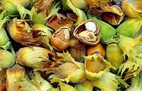 common hazel Corylus avellana, nuts