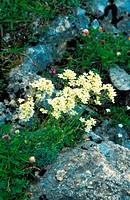 white mountain_saxifrage Saxifraga paniculata, on rock, blooming, Switzerland