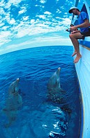 bottlenosed dolphin, common bottle_nosed dolphin Tursiops truncatus, dolphins with trainer