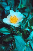 Japanese camellia Camellia japonica, cv. Shiro_Taroan, blooming