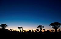 kokerboom, quivertree Aloe dichotoma, at sunset, Namibia, Keetmanshoop