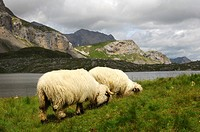 Two sheep of the Swiss breed Walliser Schwarznasenschaf grazing on an alpine pasture along the shore of a mountaion lake in the Pennine Alps, Valais, ...