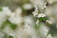 European plum Prunus domestica, white plum blossoms, Germany, Bavaria, Bad Birnbach, Apr 04.