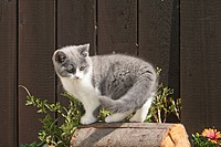 British shorthair kitten, 10 weeks old, standing on a block of wood