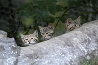 wild cat Felis silvestris, three kittens behind a trunk, captive, Germany, NP Bavarian Forest