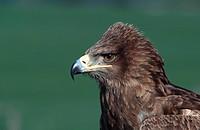 tawny eagle Aquila rapax.