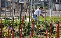 Allen Park, Michigan - Volunteers grow vegetables that will be distributed to the hungry by Gleaners Community Food Bank  The garden is one of eight s...