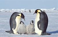 emperor penguin Aptenodytes forsteri, two chicks with adults, Antarctica, Dawson_Lambton Glacier