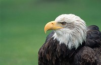 American bald eagle Haliaeetus leucocephalus, portrait