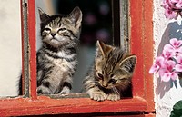 domestic cat, house cat Felis silvestris f. catus, two kittens at a window