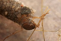 Caddifly larva (Trichoptera spec)