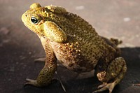 Animal, Toad, Cotia, São Paulo, Brazil