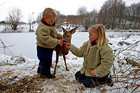 roe deer Capreolus capreolus, two childs feeding a single animal in winter