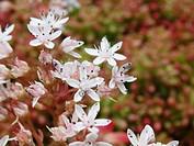 white stonecrop Sedum album, blooming