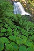 Triberg waterfalls with butterburr leaves, Germany, Schwarzwald, Baden_Wuerttemberg, Triberger Wasserfaelle, Triberg