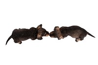 dachshund, sausage dog, domestic dog Canis lupus f. familiaris, two sleeping puppies vis_avis, nose to nose