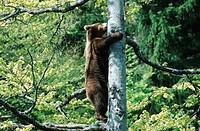 brown bear Ursus arctos, climbing on a tree