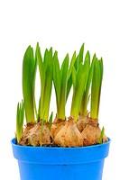 Grape Hyacinth bulbs (Muscari)