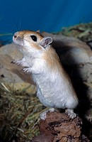 Mongolian gerbil, clawed jird Meriones unguiculatus, gerbil, grovelling, Germany, Baden_Wuerttemberg, Eberbach