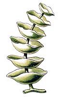Historical illustration, Siphoneae, Giant Marine Algae, Caulerpa peltata, tiered Caulerpa, Plate 64 from Ernst Haeckel's Kunstformen der Natur, Art Fo...