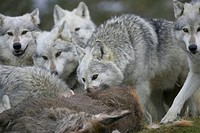 European gray wolf Canis lupus lupus, pack eat caught red deer, United Kingdom, Scotland