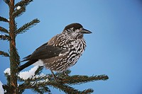 Spotted Nutcracker (Nucifraga caryocatactes), adult perched on Norway spruce ruffled by minus 15 Celsius, Davos, Alps, Switzerland, Europe
