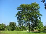 tree of heaven, tree_of_heaven Ailanthus altissima, single tree in a park