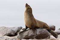 South African fur seal, Cape fur seal Arctocephalus pusillus, female at the shore, Namibia