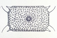 Historic illustration, tablet 4, title Diatomea, name Triceratium, Denticella regia, Ernst Haeckel, Kunstformen der Natur, Art Forms in Nature
