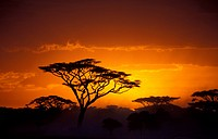 Umbrella Thorn Acacia, Umbrella Acacia Acacia tortilis, Sunset over acacia bush, Tanzania, Serengeti NP