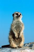 suricate, slender_tailed meerkat Suricata suricatta, guarding, Namibia