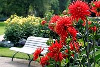 blooming red dahlia, Germany, Baden_Baden