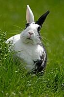 Dwarf Rabbit on a meadow