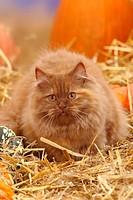 British Longhair Cat, cinnamon_tortie / Highlander, Lowlander, Britanica, straw