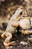 Red-spotted Toad (Bufo punctatus), adult climbing limestone ledge, Uvalde County, Hill Country, Central Texas, USA