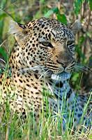 Leopard (Panthera pardus), resting in the grass, portrait, Masai Mara Nature Reserve, Kenya, East Africa
