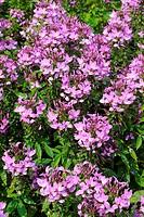 Spider Flower (Cleome spinosa), Senorita Rosalita, Summer Plant of the Year, 2008, from Bavarian gardeners