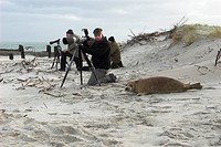 gray seal Halichoerus grypus, Who is watching whom Curious young seal takes a close look at photographer, Germany
