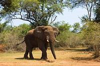 Desert_dwelling elephant, African elephant Loxodonta africana africana, male, largest terrestrial animal, Rwanda, Akagera National Park