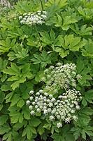 masterwort Peucedanum ostruthium, Imperatoria ostruthium, blooming