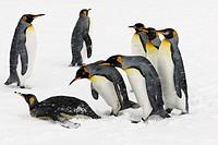 king penguin Aptenodytes patagonicus, eight individuals in the snow, Antarctica, Suedgeorgien