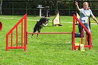 Border Collie Canis lupus f. familiaris, jumping over obstacle, Germany