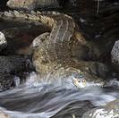 Nile crocodile Crocodylus niloticus, in water, Kenya, Tsavo West National Park