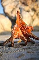 Cesme, Izmir area, harbour, harbor, fishing, octopus