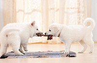 White Swiss Shepherd Dog _ two puppies with toy
